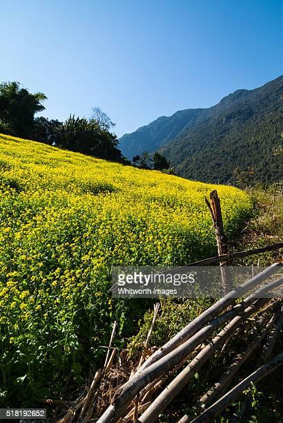 bhutan, trongsa, nimshong. yellow field of flowering mustard with rustic bamboo fence. - trongsa district stockfoto's en -beelden
