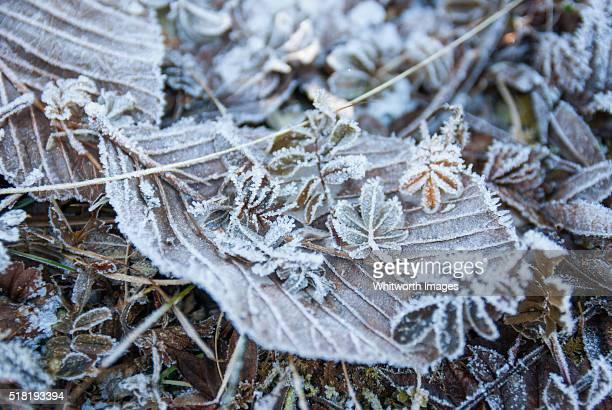 bhutan, wangue phodrang, pele la. heavy frost on brown fallen leaves in high-altitude forest. - trongsa district stockfoto's en -beelden