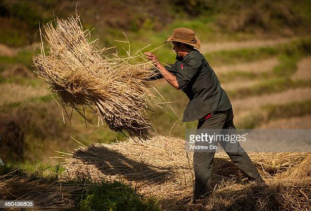 Bhutanese country farmer collects the hay from the terraced fields and throws it into piles for threshing later