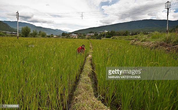 Bhutanese woman works in the paddy fields in Paro on August 21, 2011. The Kingdom of Bhutan is a small landlocked country in South Asia, located at...