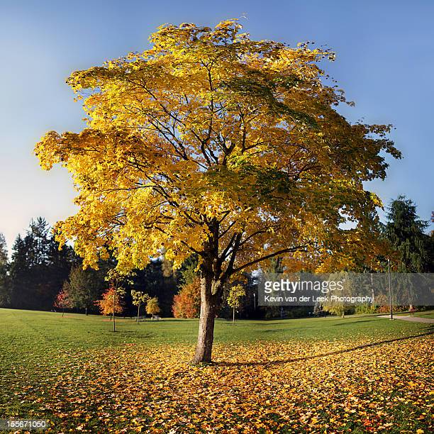 bi yellow tree in the park - tulip tree stock photos and pictures