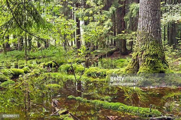 bialowieza forest, bialowieza national park, poland, europe - bialowieza forest stock-fotos und bilder
