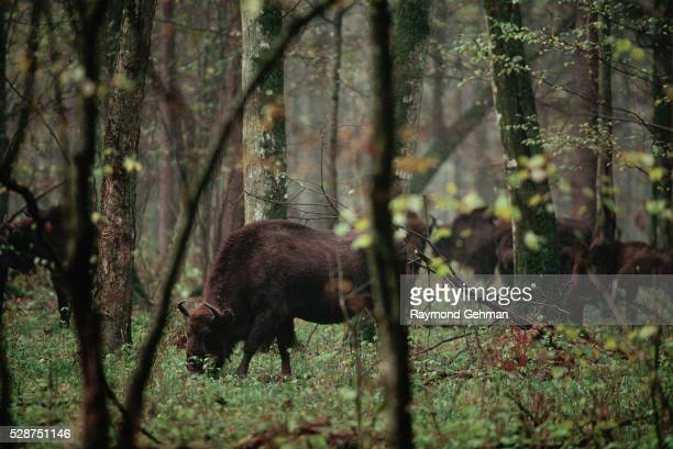 bialowieza forest bison cow and calf - poland stock pictures, royalty-free photos & images