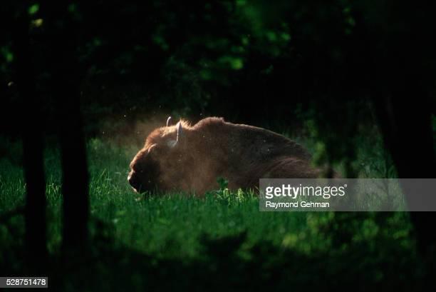 Bialowieza Forest Bison in Dust Wallow