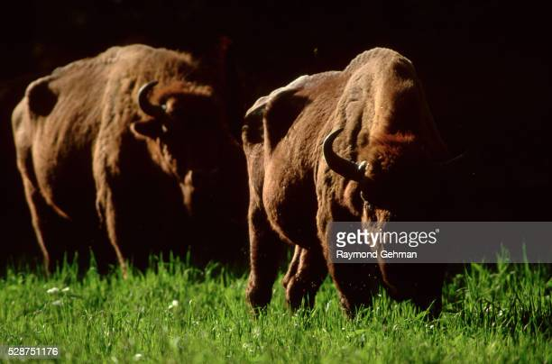 bialowieza forest bison - bialowieza forest stock pictures, royalty-free photos & images