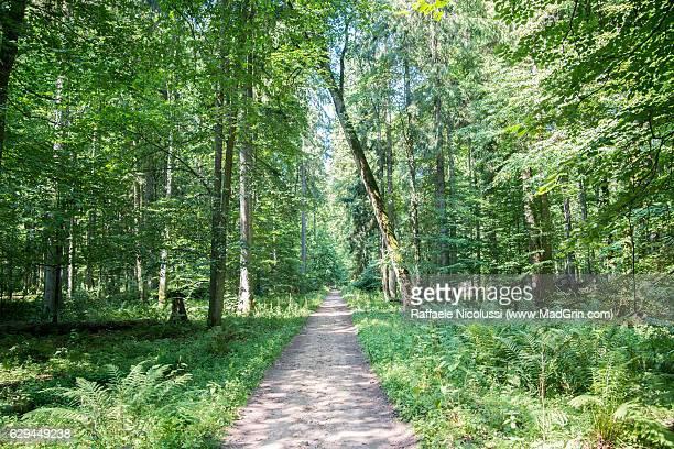 bialowieza national park - bialowieza forest stock-fotos und bilder