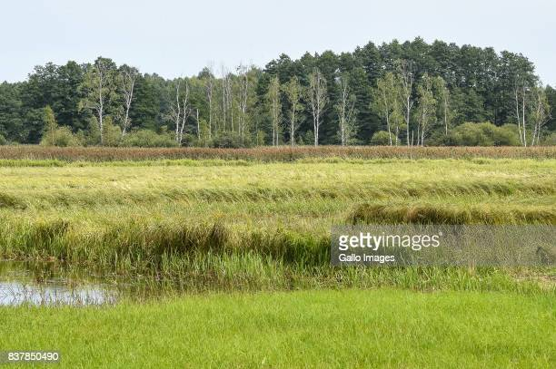 Bialowieza National Park seen on August 09 2017 near Bialowieza Poland The Bialowieza National Park is best known for the protection of the...