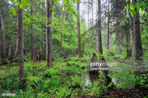 bialowieza primeval forest - bialowieza forest stock pictures, royalty-free photos & images