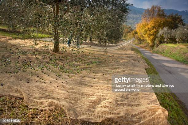 bibbona, tuscany, italy, process of harvesting olives - black seed oil stock pictures, royalty-free photos & images