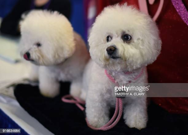 Bichon Frise are seen during the 9th AKC Meet The Breeds on February 10 2018 in New York at the 142th Annual Westminster Kennel Club Dog Show / AFP...