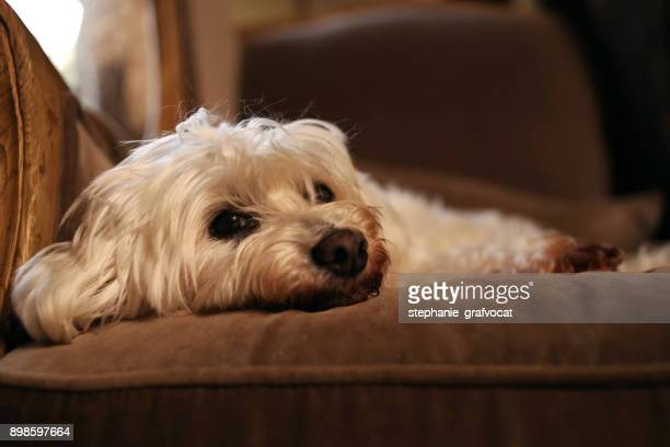 Bichon Frise dog lying on a couch