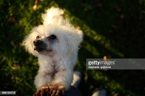 Bichon Frise dog rearing up begging