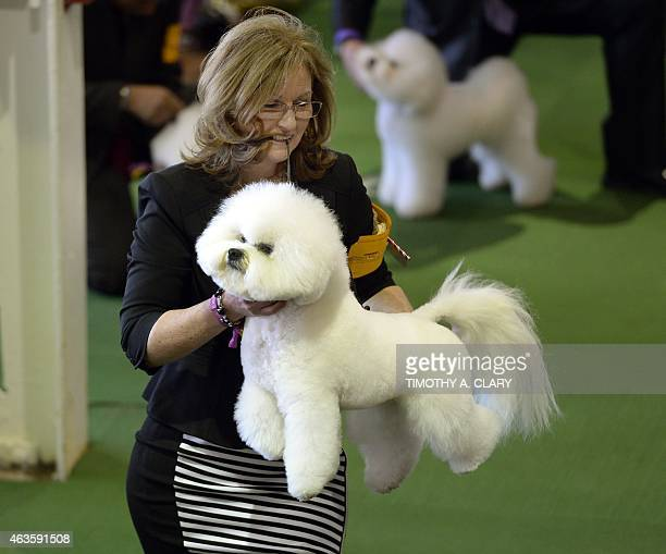 A Bichon Frise in the judging area at Pier 92 and 94 in New York City on the first day of competition at the 139th Annual Westminster Kennel Club Dog...