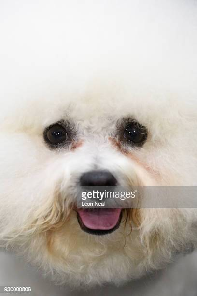 Bichon Frise is groomed ahead of judging on day three of the Cruft's dog show at the NEC Arena on March 10 2018 in Birmingham England The annual...