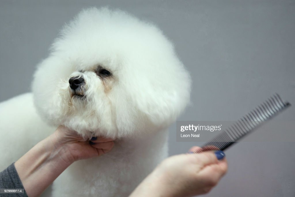 A Bichon Frise named