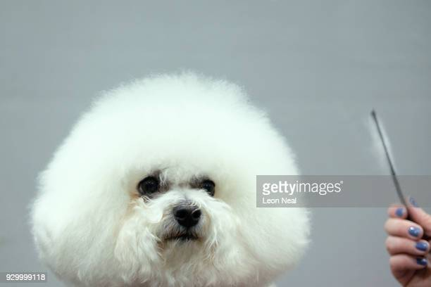 Bichon Frise named 'Manoirs Just Like That At Keunnevek' is groomed ahead of judging on day three of the Cruft's dog show at the NEC Arena on March...