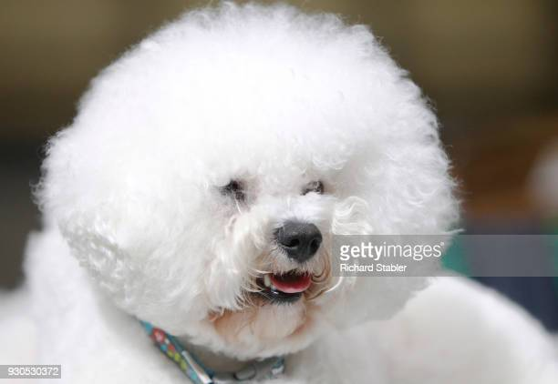 Bichon Frise on day three of the Cruft's dog show at the NEC Arena on March 10 2018 in Birmingham England The annual fourday event sees around 22000...