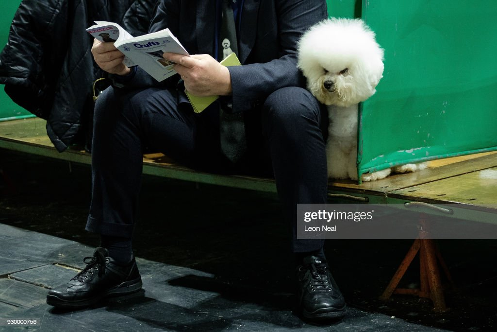 A Bichon Frise pokes his head from a bench ahead of judging