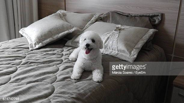 Bichon Frise Resting On Bed At Home