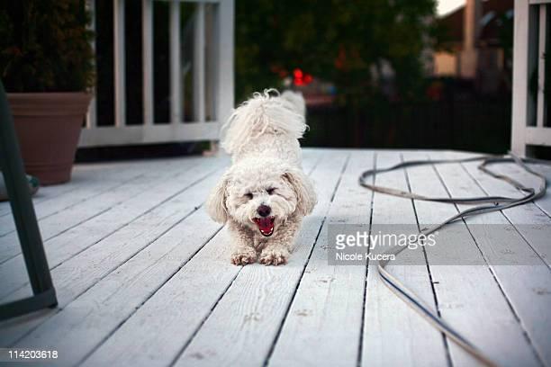 Bichon frise stretching , yawning on  deck
