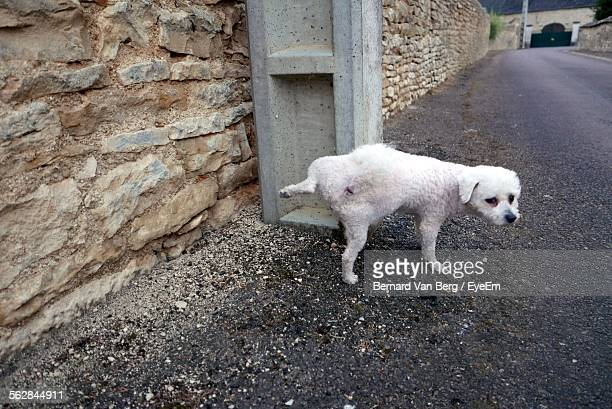 bichon frise urinating on street - urinating stock pictures, royalty-free photos & images
