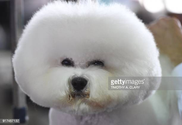 A Bichon Frise waits in the benching area during Day One of competition at the Westminster Kennel Club 142nd Annual Dog Show in New York on February...