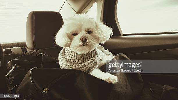 Bichon Frise With Luggage In Car