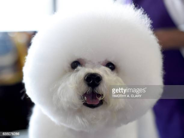 A Bichon Frises is seen in the benching area during Day One of competition at the Westminster Kennel Club 141st Annual Dog Show in New York on...