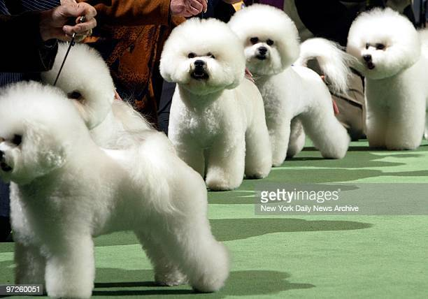 Bichon Frises tappitytap their way through first day of judging at the 128th Westminster Kennel Club Dog Show at Madison Square Garden