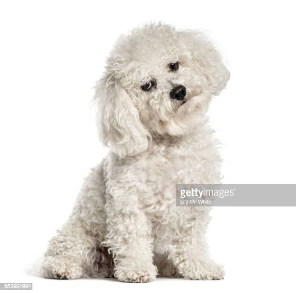 Bichon sitting and bending head, isolated on white