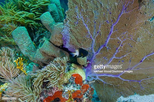 A bi-color damselfish amongst the coral reef, Key Largo, Florida.