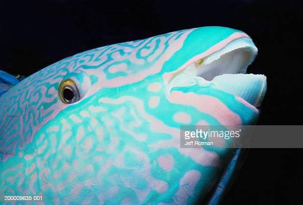 Bicolor parrotfish (Cetoscarus bicolor) night