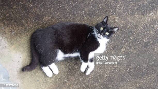 bicolor tuxedo cat with intense stare at the camera