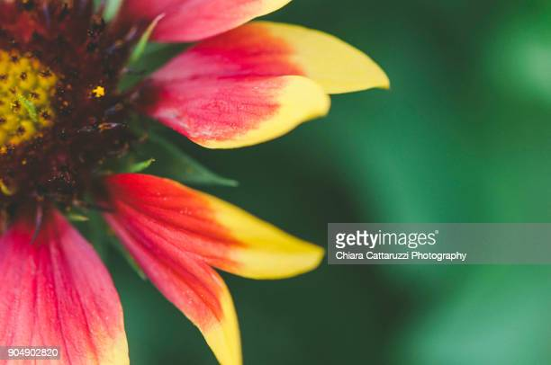 Bicolored daisy in a close up image