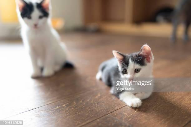 Bicolored Kittens on the Floor