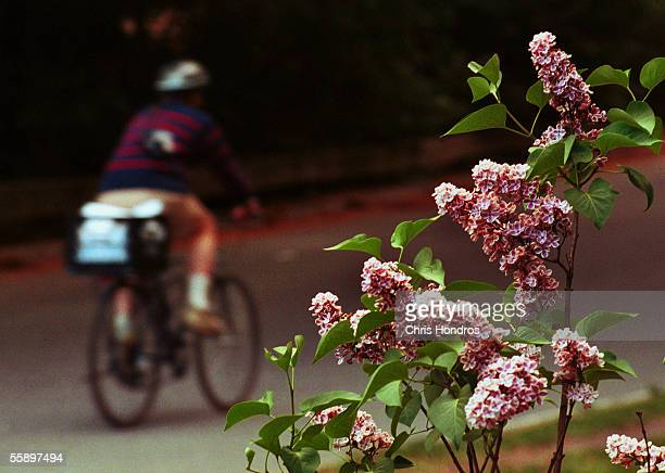 A bicycle rider zips past flowering plants May 14 2001 in New York Citys Central Park Pollen counts are particularly high in New York this year