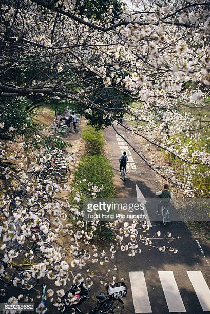 Bicycle Riding and Cherry Blossoms