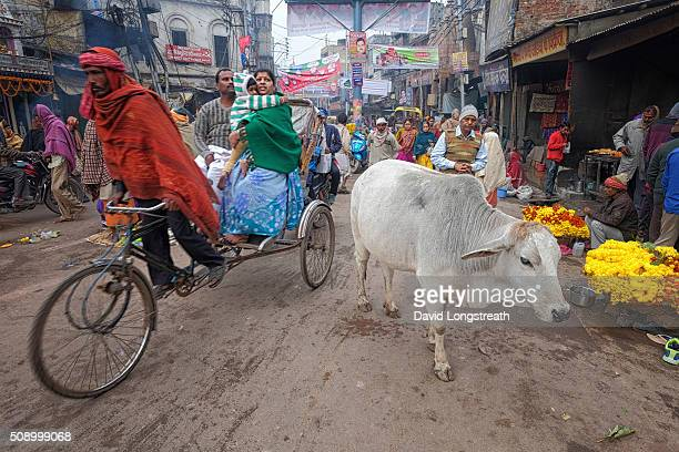 A bicycle taxi maneuvers past a cow during early morning traffic For Hindus cows are sacred and cannot be slaughtered They were the favorite animal...