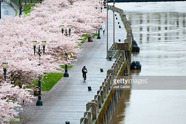 Bicycling past spring blossoms in rainy Portland, Oregon