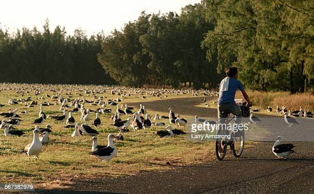 A bicyclist makes his way along a road on Midway Island surrounded by 'Goony Birds' or Laysan Albatross