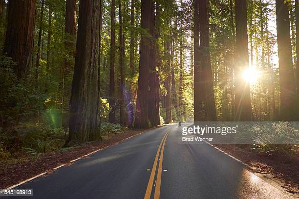 bicyclist riding through redwood forest - redwood tree stock photos and pictures