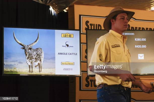 A bid spotter watches for bidders as a screen displays a lot of Ankole cattle for sale during the 13th annual Stud Game Breeders auction at Zebula...