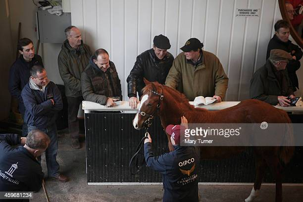 Bidders at Tattersalls Auctioneers admire a foal known only as Lot 975 before the youg chestnut colt is sold on November 28 2014 in Newmarket England...