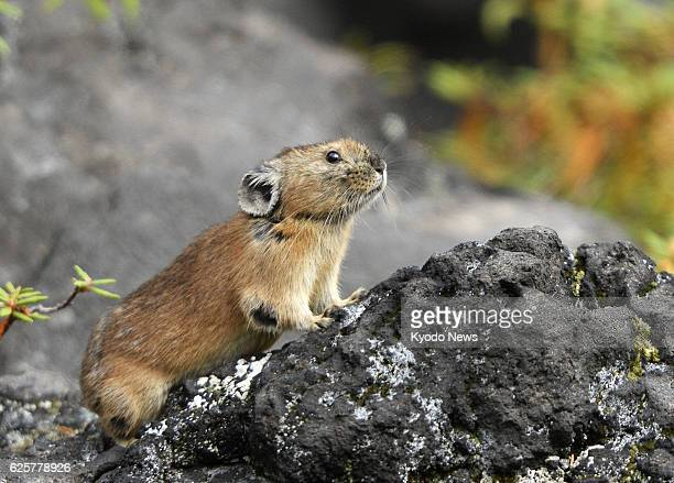 """Biei, Japan - Photo shows an """"Ezonakiusagi,"""" northern pika in a rocky area on Mt. Tokachi in Hokkaido, on Sept. 9, 2013. Several pikas, which do not..."""