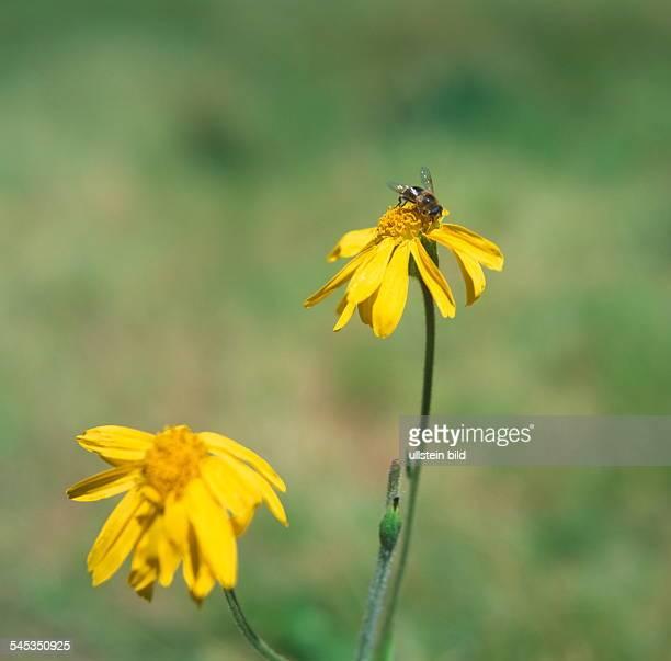 Biene auf einer ArnikaBlüte 2001