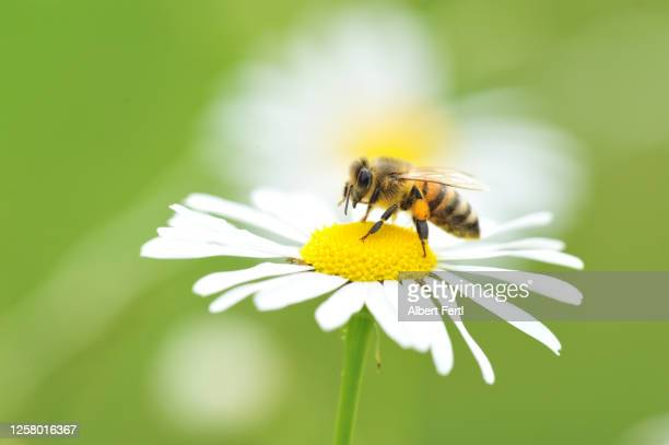 biene auf einer kamillenblüte - bees on flowers stock pictures, royalty-free photos & images