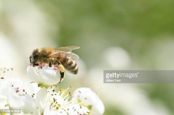 biene beim pollensameln - ハナバチ ストックフォトと画像