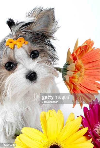 Biewer Yorkie and Gerber Daisy's