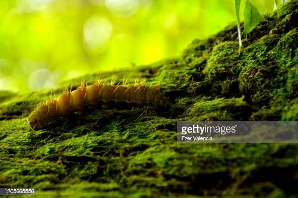 oruga amarilla avanzando en una superficie