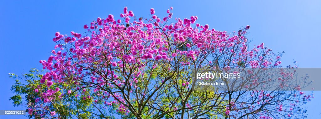 Big and beautiful pink trumpet tree. : Stock Photo